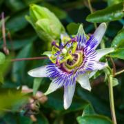 La assiflora